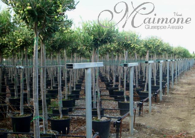 Vivai maimone giuseppe alessio milazzo messina sicilia for Alberelli ornamentali