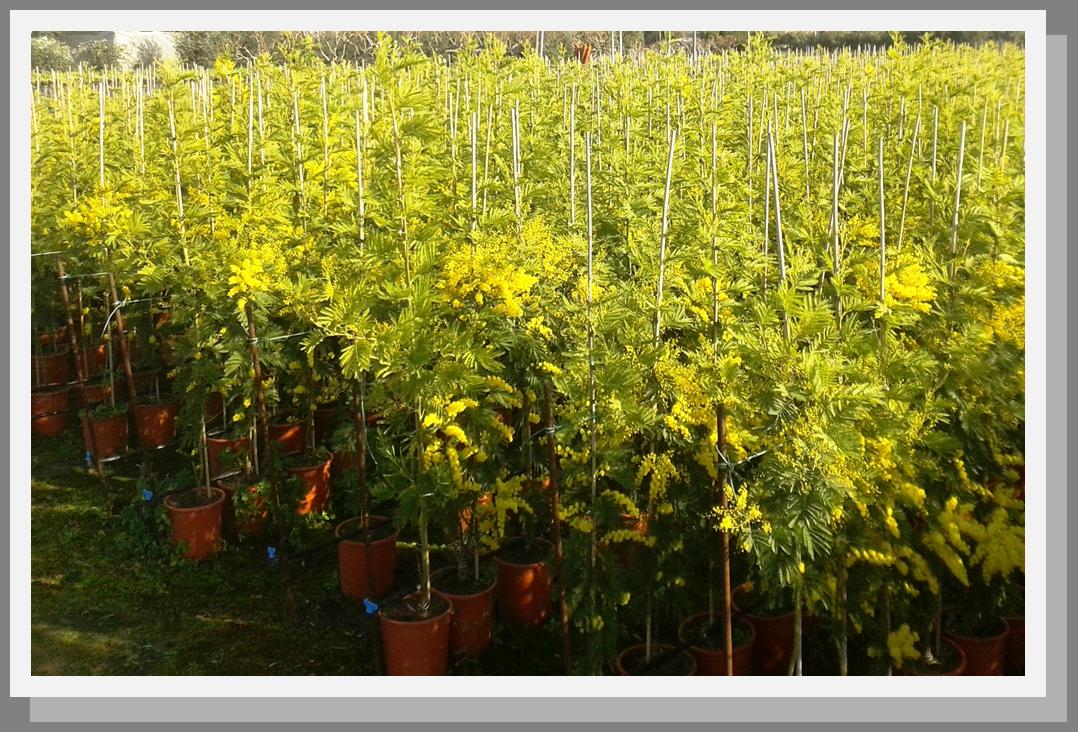 Vivai maimone giuseppe alessio milazzo messina sicilia for Mimosa in vaso